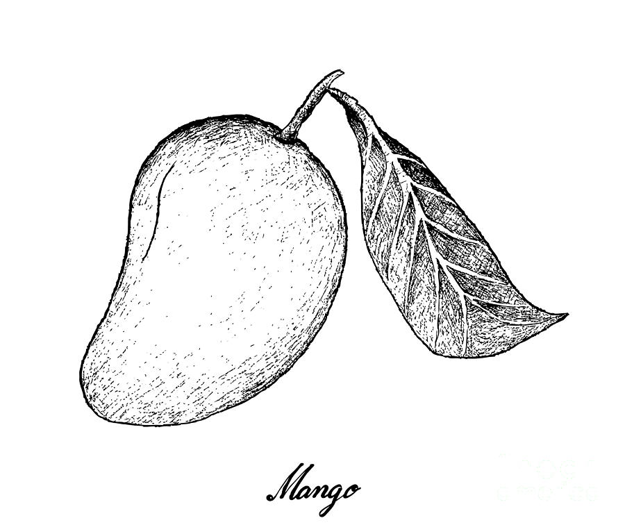 Hand Drawn Of Mango Fruits On White Background Drawing by ...