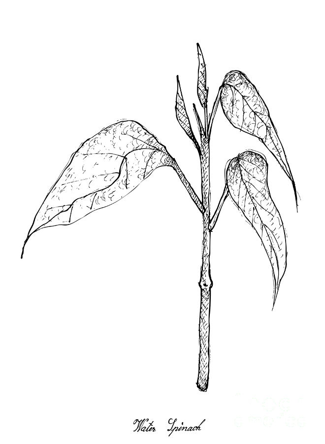 Hand Drawn Of Water Spinach On White Background Drawing by Iam Nee