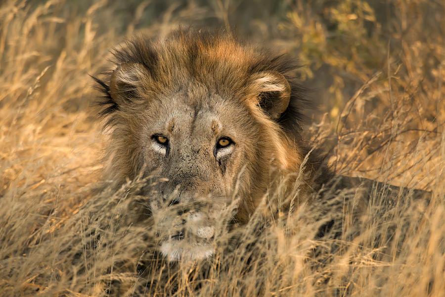 Lion Photograph - Handsome Old Man by Jennifer