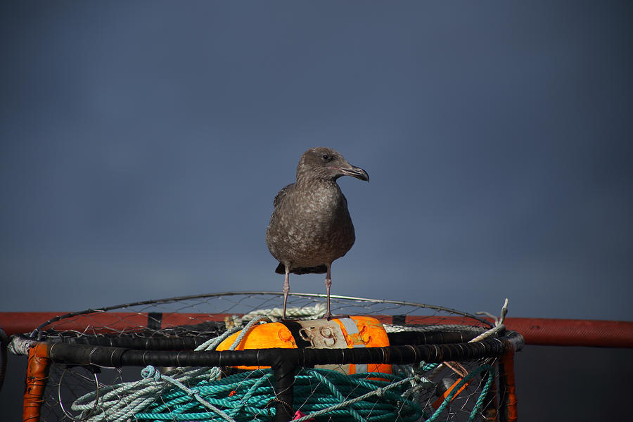 Seagull Photograph - Hanging Around by Damien Pennington