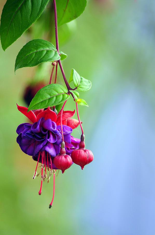 Hanging Gardens Photograph - Hanging Gardens Fuschia by Laura Mountainspring