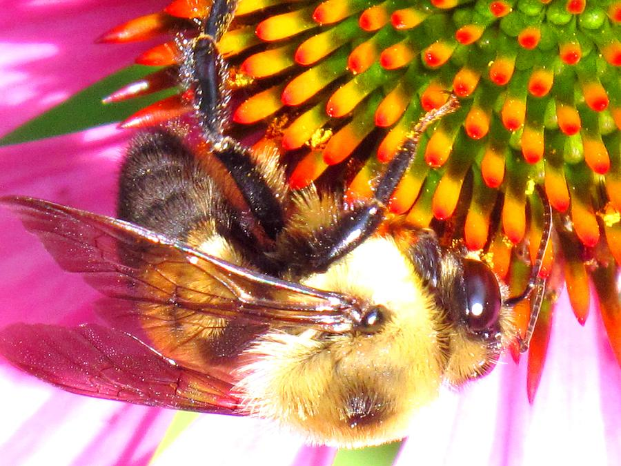 Bee Photograph - Hanging In There by Ian  MacDonald