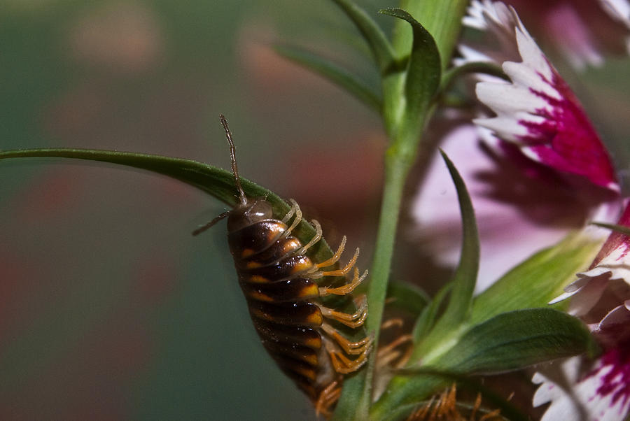 Millipede Photograph - Hanging On Hanging In There by Douglas Barnett