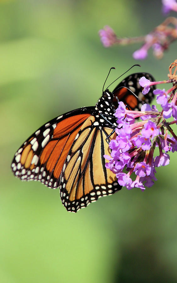 Butterfly Photograph - Hanging On by Karol Livote