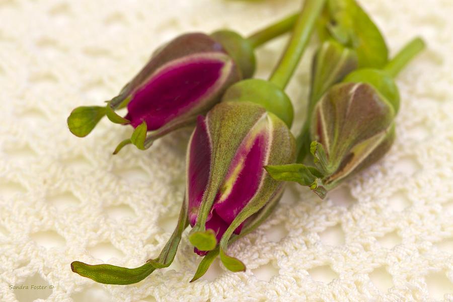 Hansa Rose Photograph - Hansa Rose Buds by Sandra Foster