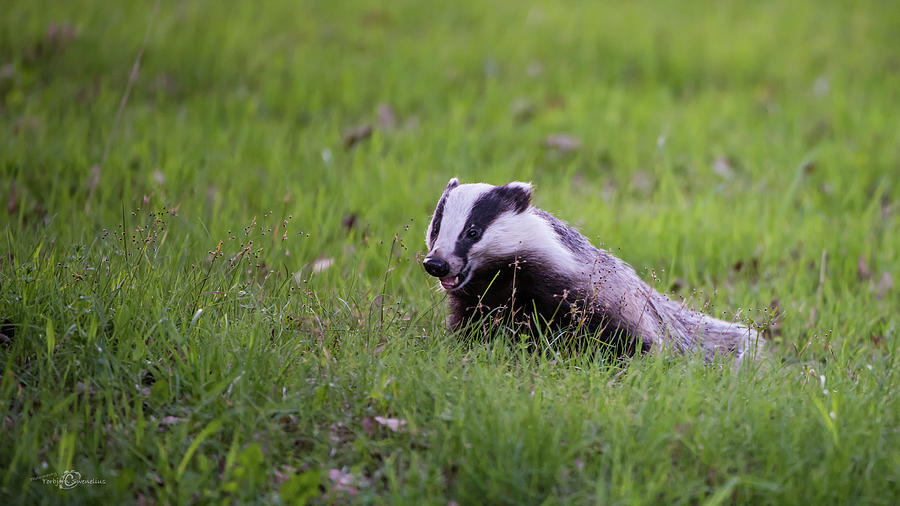 Happy Badger In The Green Grass Photograph