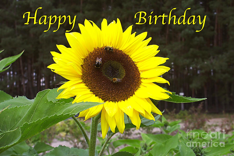 Happy Birthday Greeting Card Sunflower Photograph By Sascha Meyer