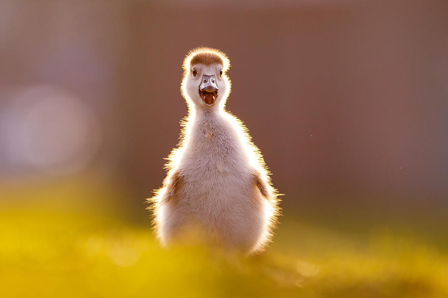 Gosling Photograph - Happy Easter - Cute Baby Gosling by Roeselien Raimond
