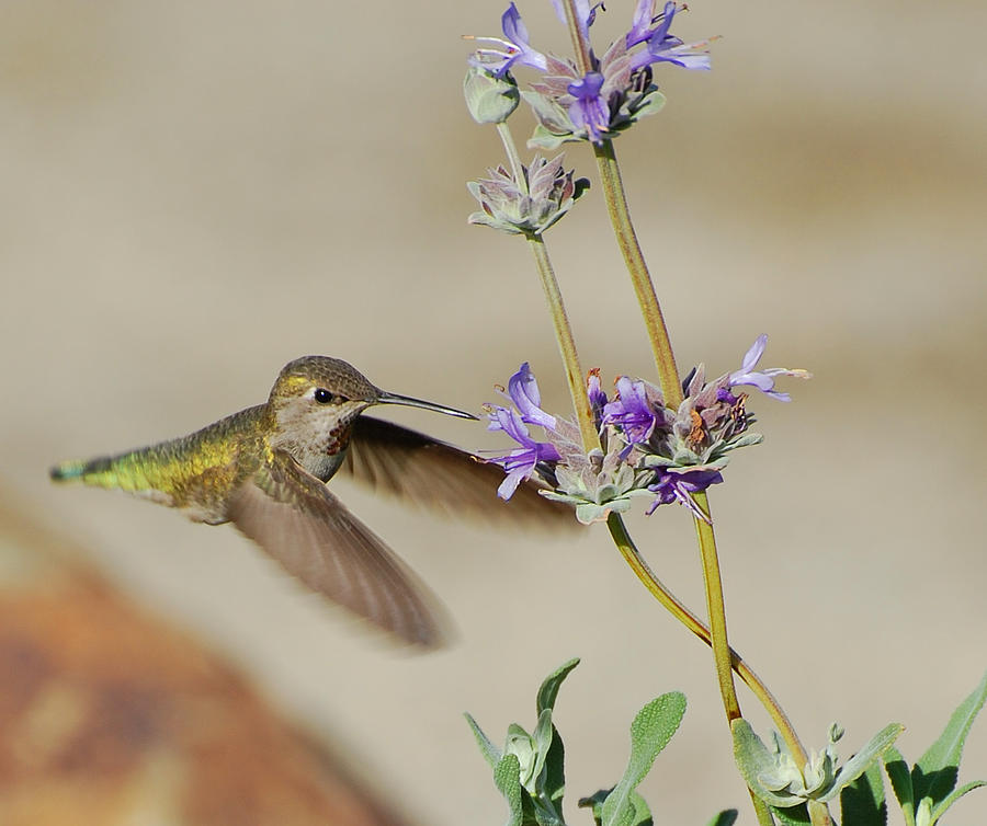 Hummer Photograph - Happy Hummer by Jean Booth