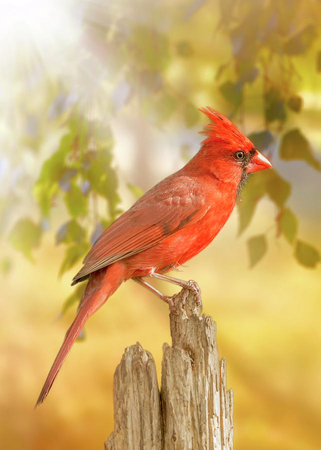 Happy Morning Redbird by Bill Tiepelman