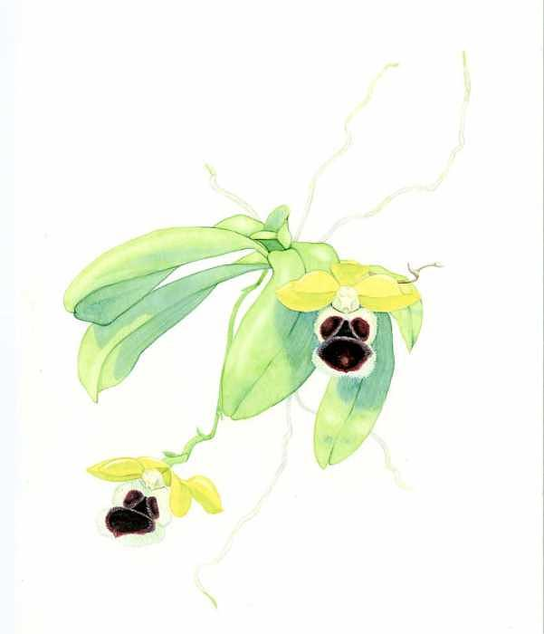 Botanical Orchid Painting - Haraella Odorata by Darren James Sturrock