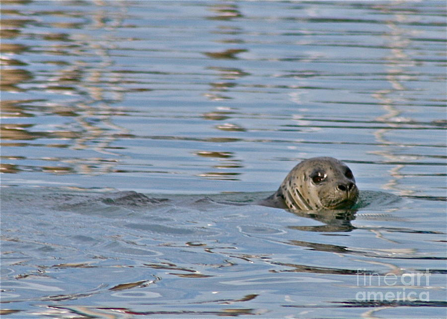 Seal Photograph - Harbor Patrol by Rick  Monyahan