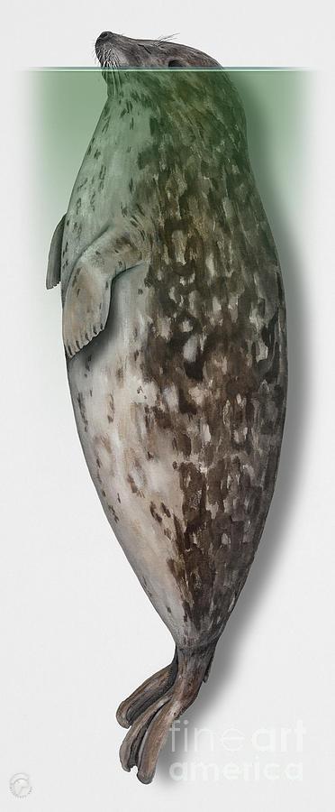 Harbour Seal - Harbor Seal - Phoca Vitulina - Phoque Commun - Foca Comune - Pinniped - Sleeping Painting