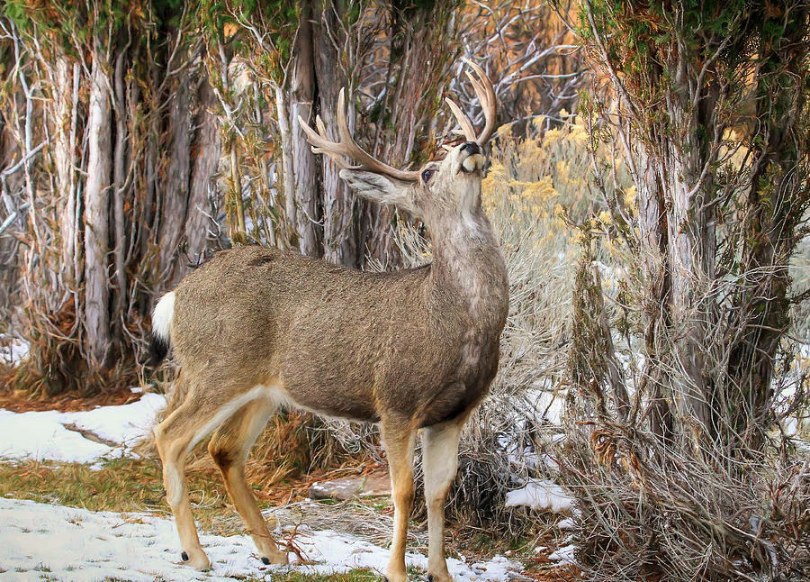 Mule Deer Photograph - Hard To Reach by Donna Kennedy