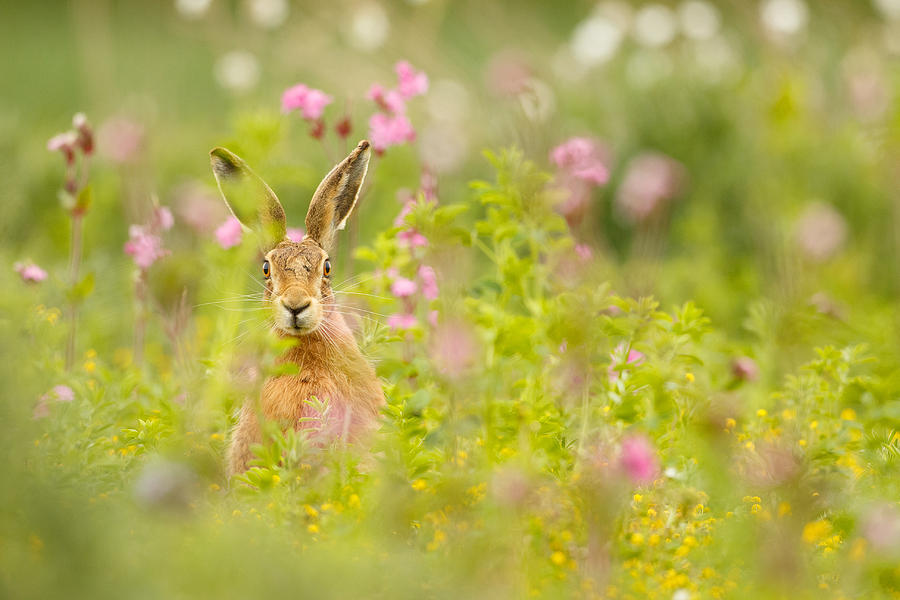 Hare in Campion by Simon Litten