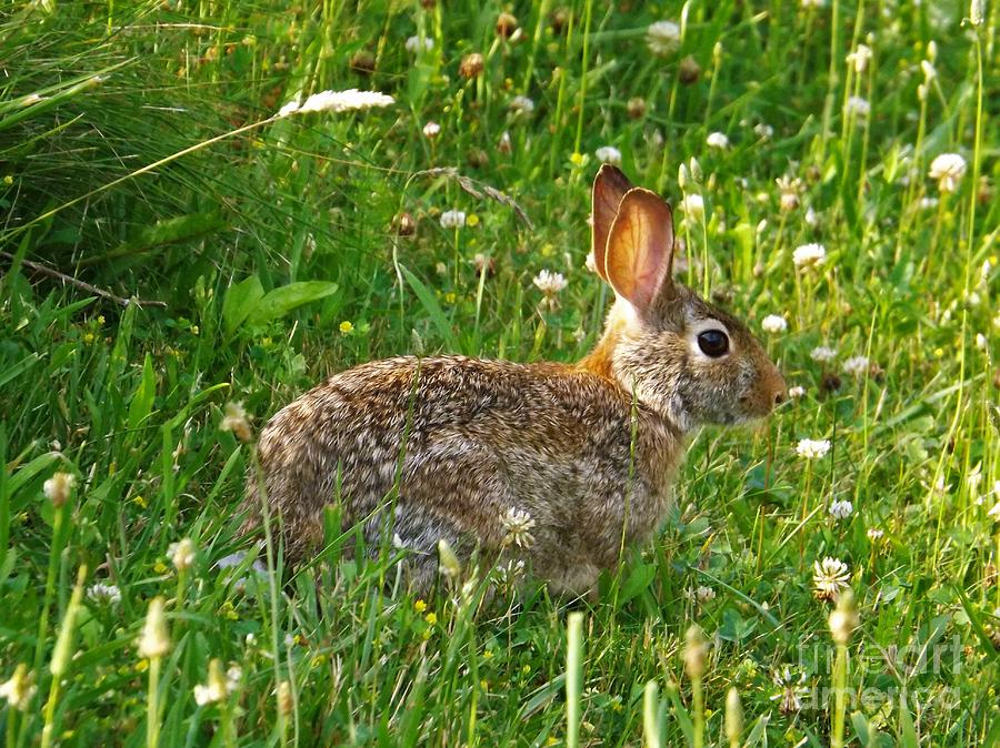 Hare In The Grass Photograph