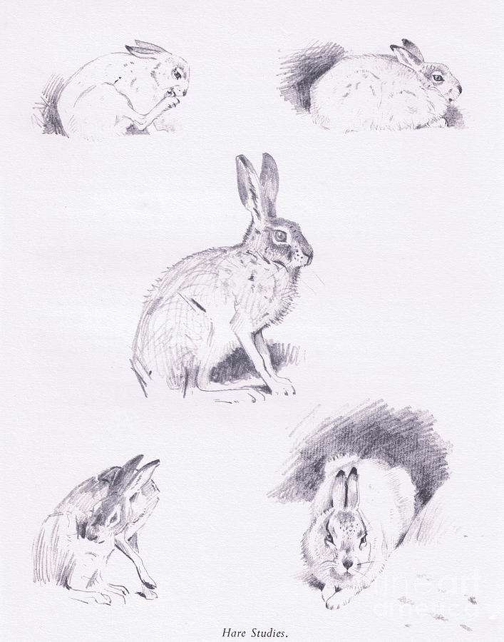 Hare Drawing - Hare studies by Archibald Thorburn