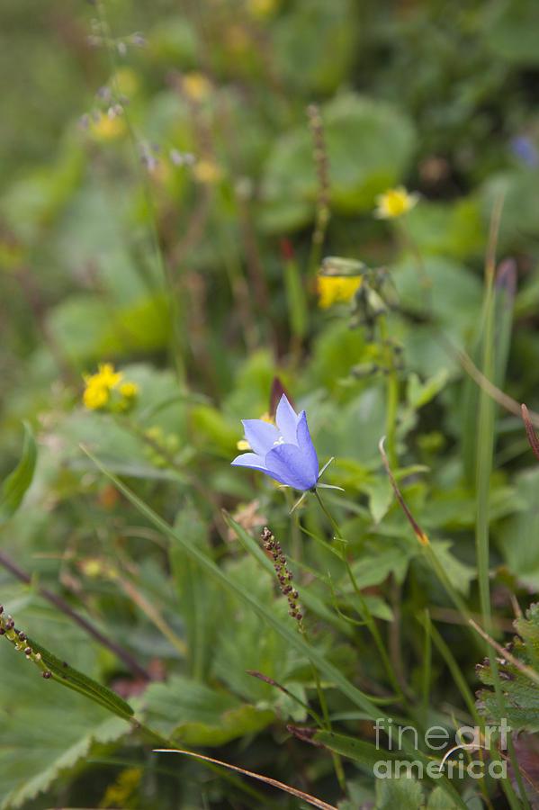 Hike Photograph - Harebell - Campanula Rotundifolia - Flower by Erin Paul Donovan
