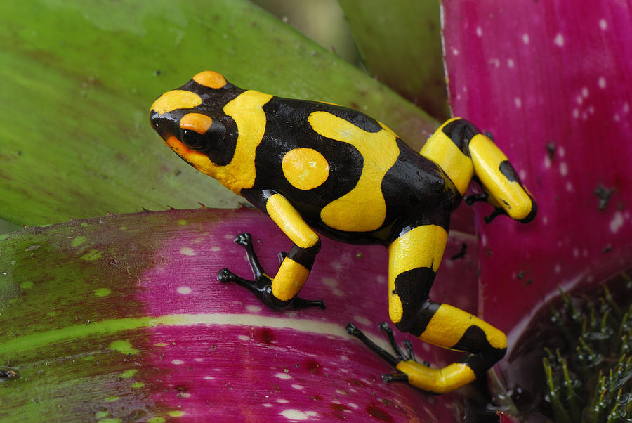 Mp Photograph - Harlequin Poison Dart Frog  by Thomas Marent