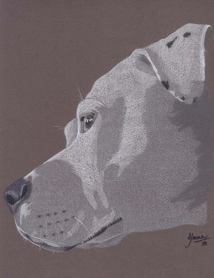 Pit Bull Drawing - Harlo by Stacey Jasmin