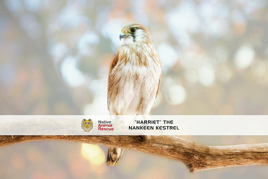 Harriet the Nankeen Kestrel, Native Animal Rescue by Dave Catley