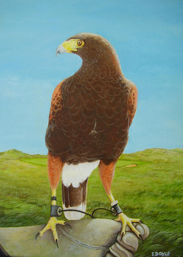 Falconry Painting - Harris Hawk On Glove by Eamon Doyle