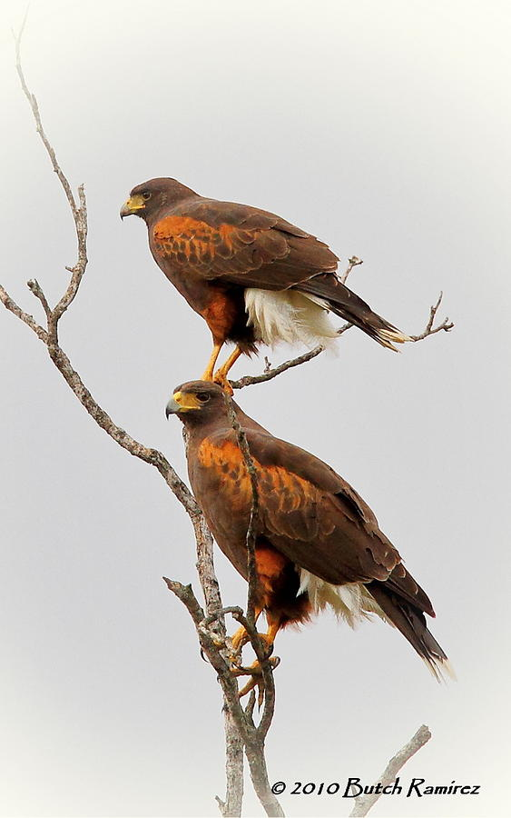 Harris Hawk Pair Photograph By Butch Ramirez