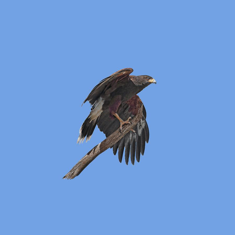 Harris Hawk Photograph - Harris Hawk - Transparent by Nikolyn McDonald