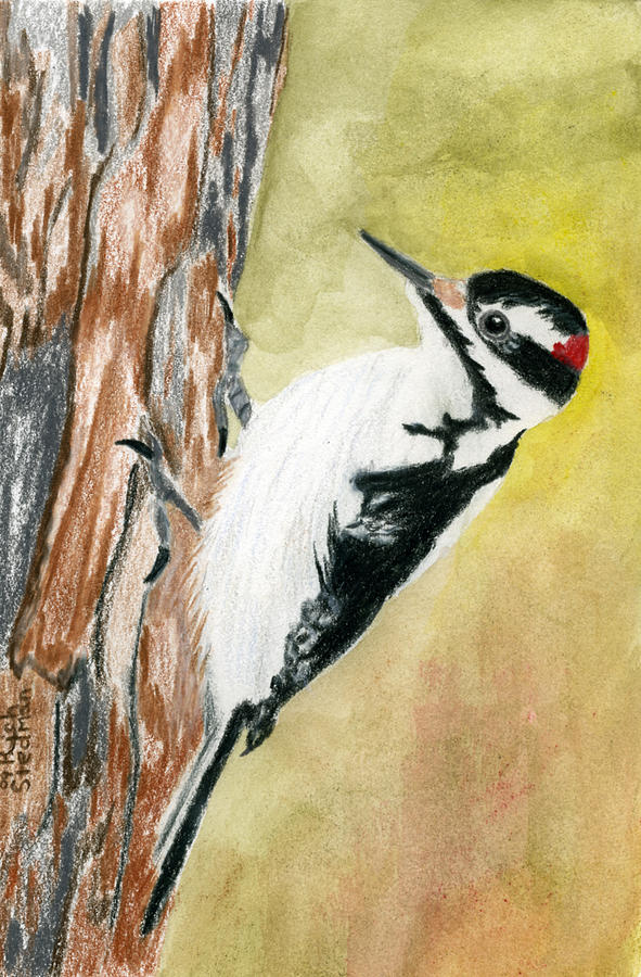 harry the hairy woodpecker drawing by rich stedman