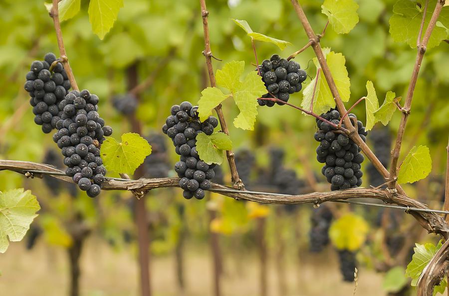Vineyard Photograph - Harvest by Jean Noren