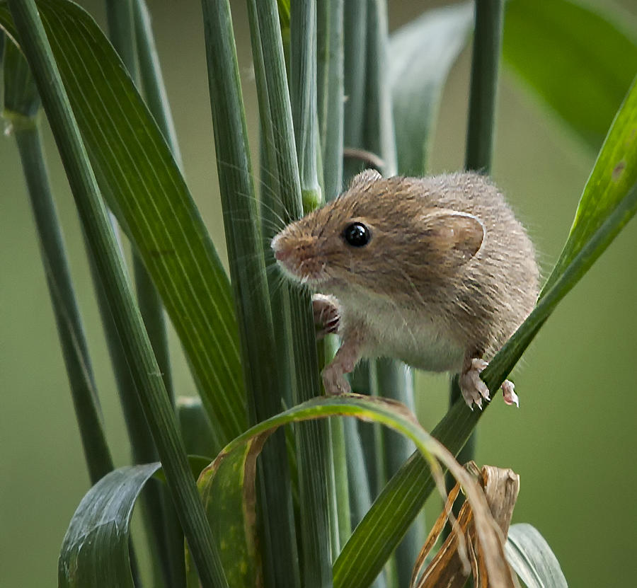 Harvest Mouse Photograph - Harvest Mouse Close Up by Philip Pound