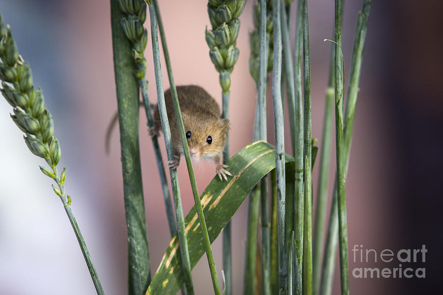 Harvest Photograph - Harvest Mouse In Grass by Philip Pound
