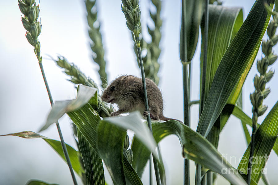 British Photograph - Harvest Mouse On Stalks Of Grass by Philip Pound