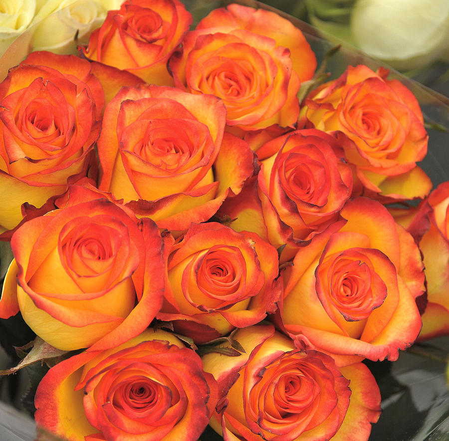 Orange Photograph - Harvest Roses by JAMART Photography