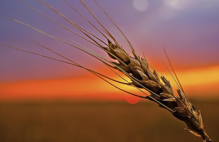 Wheat Photograph - Harvest Sunset by Garett Gabriel