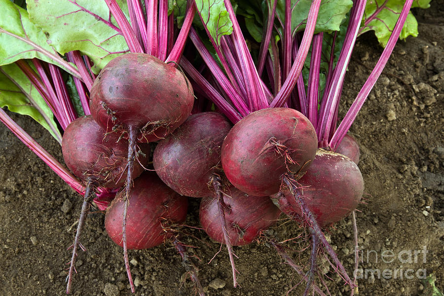 Organic Photograph - Harvested Organic Beets by Inga Spence