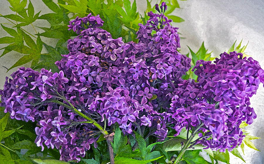 Lilac Photograph - Harvesting Aroma by Gwyn Newcombe