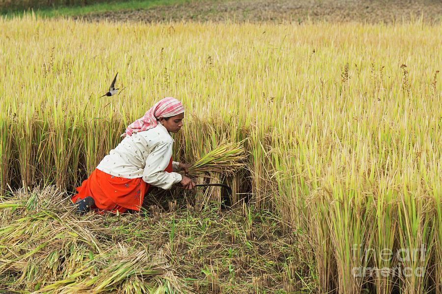 India Photograph - Harvesting Rice by Tim Gainey