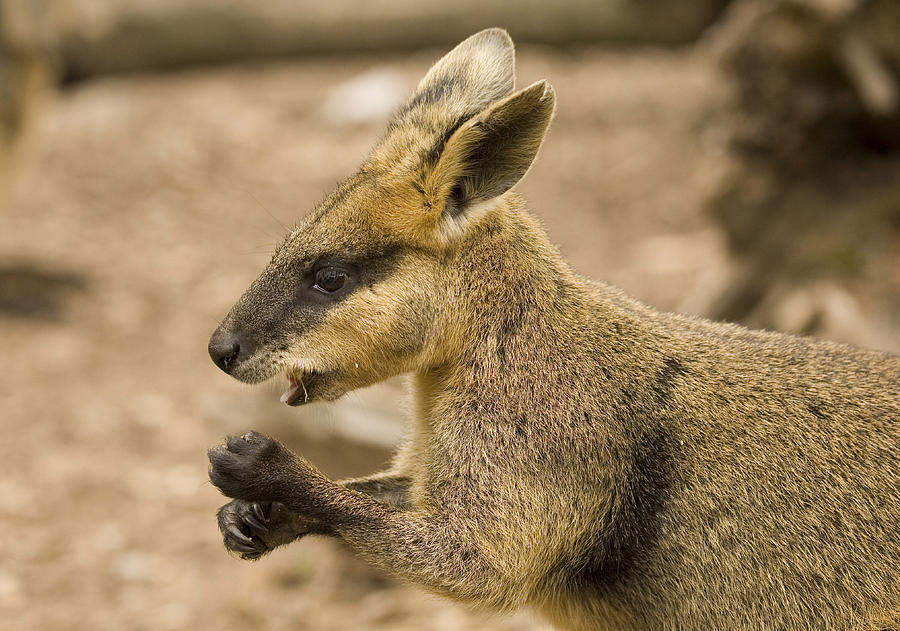 Wallaby Photograph - Having A Snack by Mike  Dawson