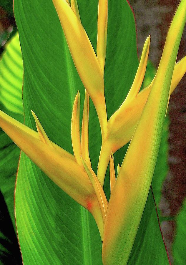 Hawaii Flowers Photograph - Hawaii Golden Torch by James Temple
