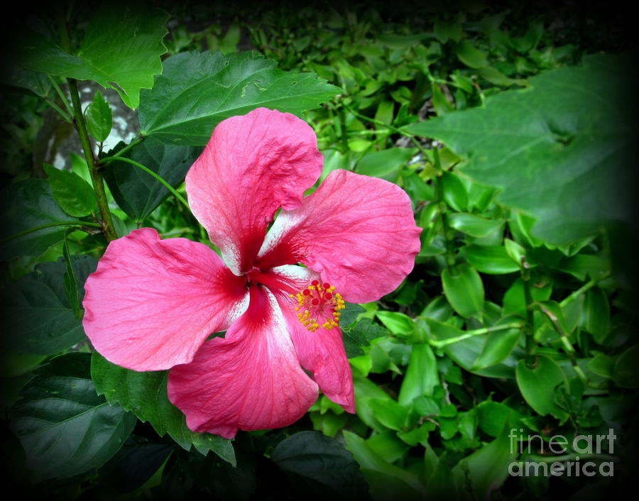 Oahu Photograph - Hawaii State Flower  Hibiscus by Joy Patzner