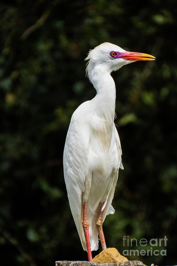 Hawaiian Cattle Egret 2 by Christy Garavetto