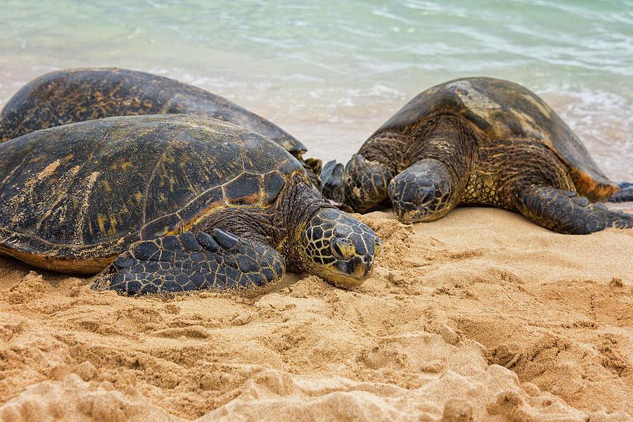 Sea Turtle Photograph - Hawaiian Green Sea Turtles 1 - Oahu Hawaii by Brian Harig