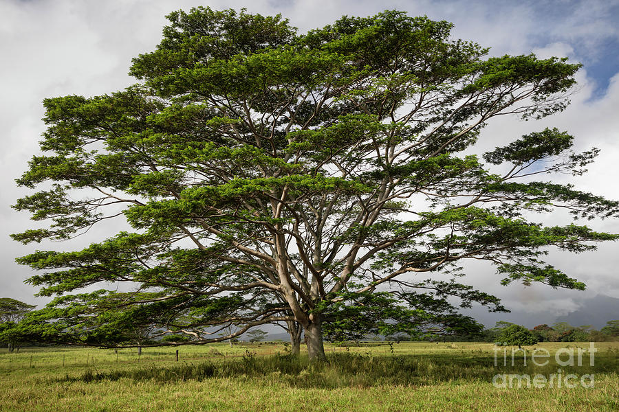 Hawaiian Moluccan Albizia Tree by Dustin K Ryan