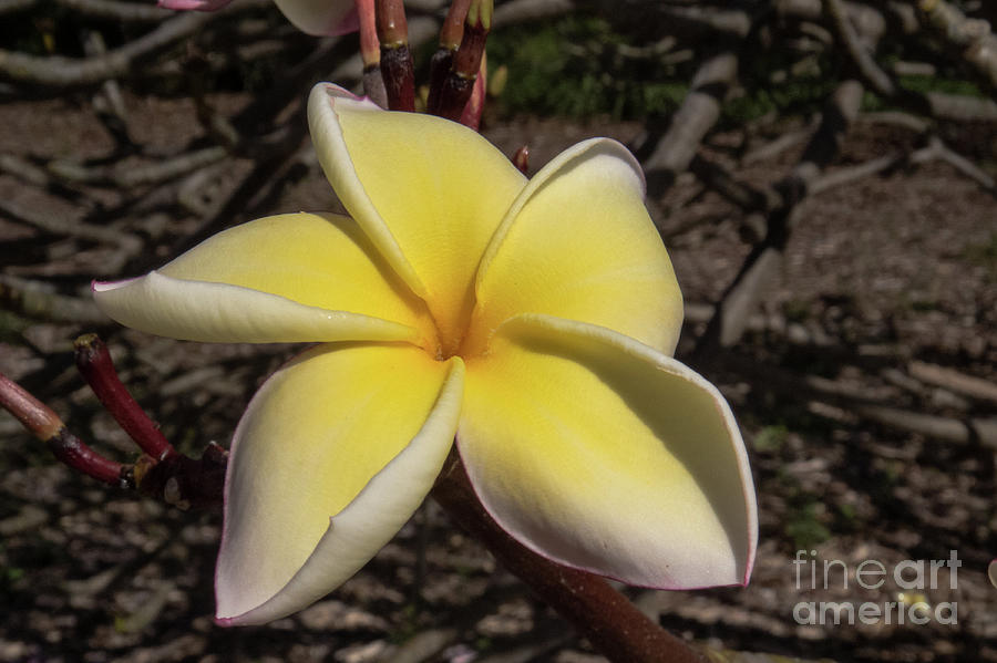 Hawaiian Plumeria 3 by Christy Garavetto