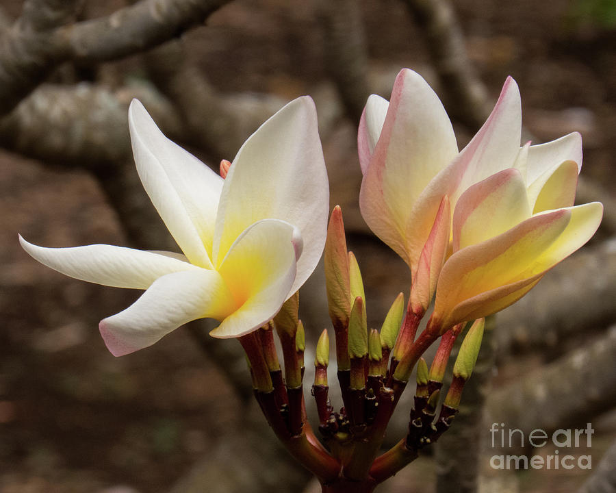 Hawaiian Plumeria 4 by Christy Garavetto