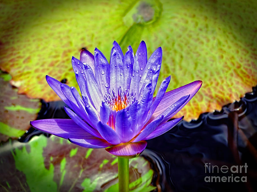 Water Lily Photograph - Hawaiian Water Lily by Sue Melvin