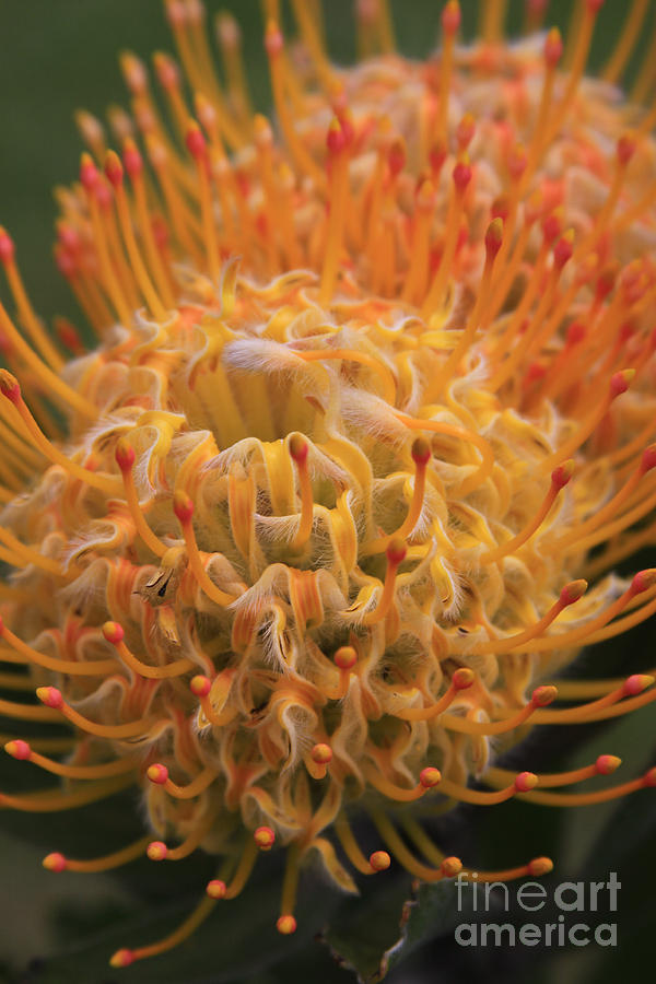 Hawaiin Blossom Photograph