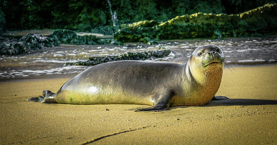 Wildlife Photograph - Hawaiin Monk Seal by Jason Brooks