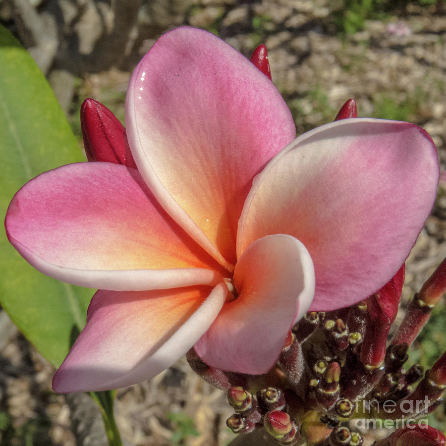 Hawaiin Plumeria 2 by Christy Garavetto
